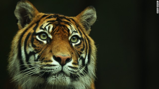 Sumatran tiger fetuses found in jar as five arrested for poaching - report